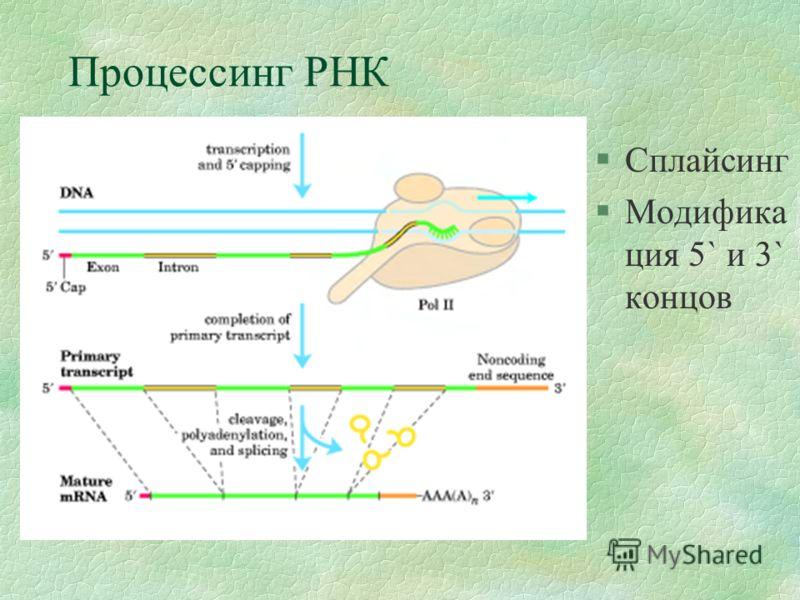 Процессинг РНК §Сплайсинг §Модифика ция 5` и 3` концов