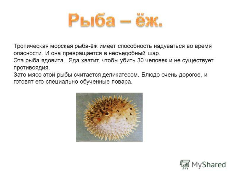 Тропическая морская рыба-ёж имеет способность надуваться во время опасности. И она превращается в несъедобный шар. Эта рыба ядовита. Яда хватит, чтобы убить 30 человек и не существует противоядия. Зато мясо этой рыбы считается деликатесом. Блюдо очен