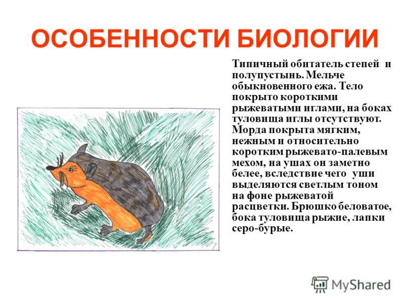 ОСОБЕННОСТИ БИОЛОГИИ Типичный обитатель степей и полупустынь. Мельче обыкновенного ежа. Тело покрыто короткими рыжеватыми иглами, на боках туловища иглы отсутствуют. Морда покрыта мягким, нежным и относительно коротким рыжевато-палевым мехом, на ушах