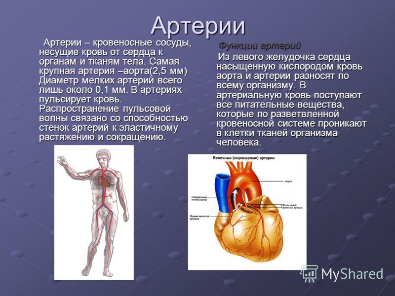 Артерии Артерии – кровеносные сосуды, несущие кровь от сердца к органам и тканям тела. Самая крупная артерия –аорта(2,5 мм) Диаметр мелких артерий всего лишь около 0,1 мм. В артериях пульсирует кровь. Распространение пульсовой волны связано со способ