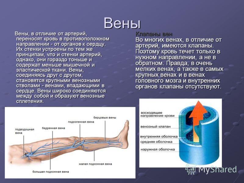 Вены Вены, в отличие от артерий, переносят кровь в противоположном направлении - от органов к сердцу. Их стенки устроены по тем же принципам, что и стенки артерий, однако, они гораздо тоньше и содержат меньше мышечной и эластической ткани. Вены, соед