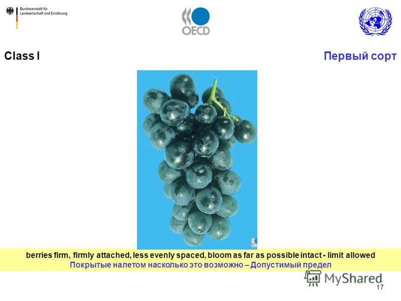 17 berries firm, firmly attached, less evenly spaced, bloom as far as possible intact - limit allowed Покрытые налетом насколько это возможно – Допустимый предел Первый сортClass I