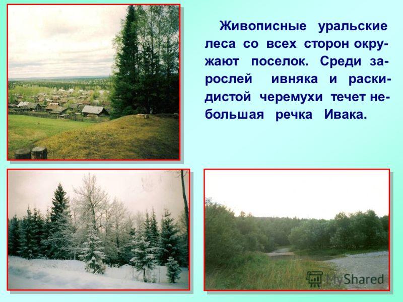 Живописные уральские леса со всех сторон окру- жают поселок. Среди за- рослей ивняка и раски- дистой черемухи течет не- большая речка Ивака.