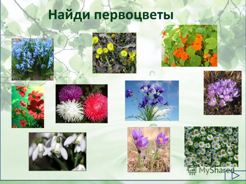 Найди первоцветы
