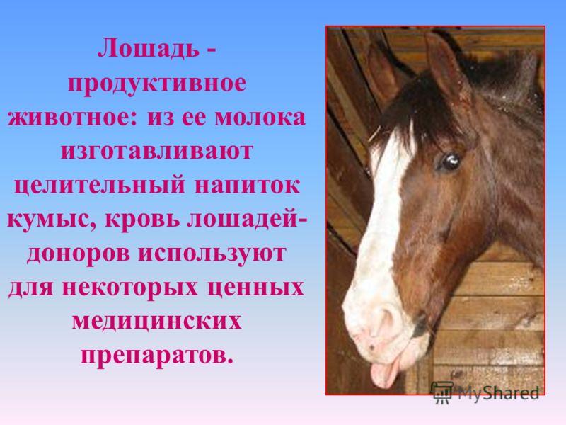 Лошадь - продуктивное животное: из ее молока изготавливают целительный напиток кумыс, кровь лошадей- доноров используют для некоторых ценных медицинских препаратов.