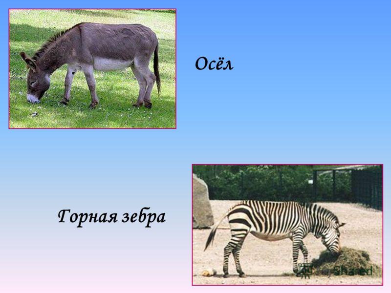Осёл Горная зебра