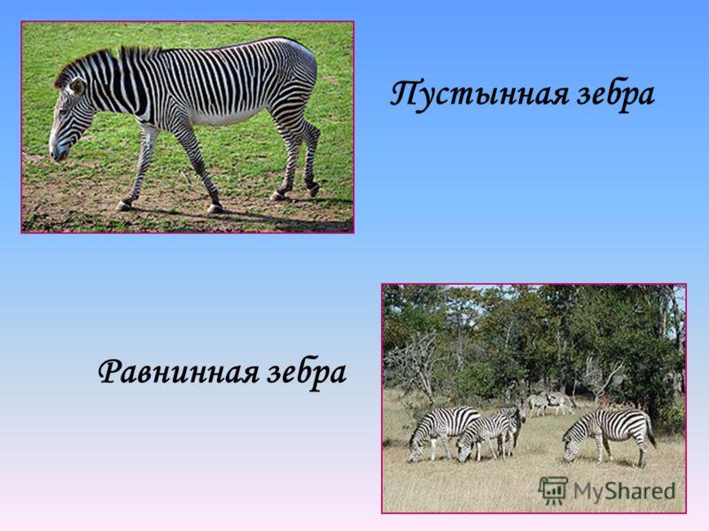 Пустынная зебра Равнинная зебра