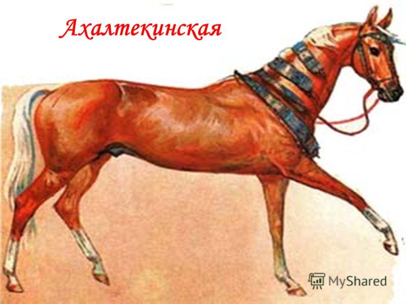 Ахалтекинская