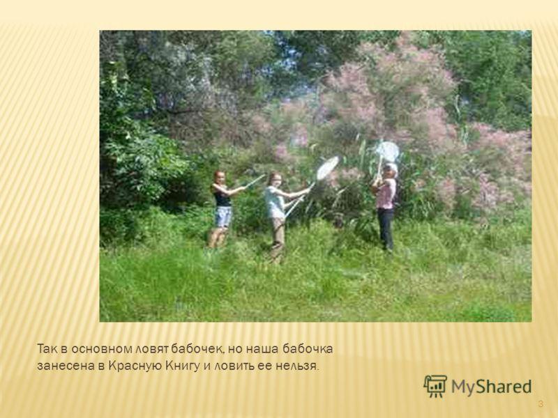 Так в основном ловят бабочек, но наша бабочка занесена в Красную Книгу и ловить ее нельзя. 3
