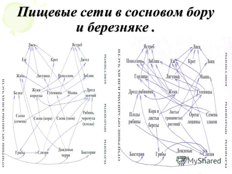 Пищевые сети в сосновом бору и березняке.
