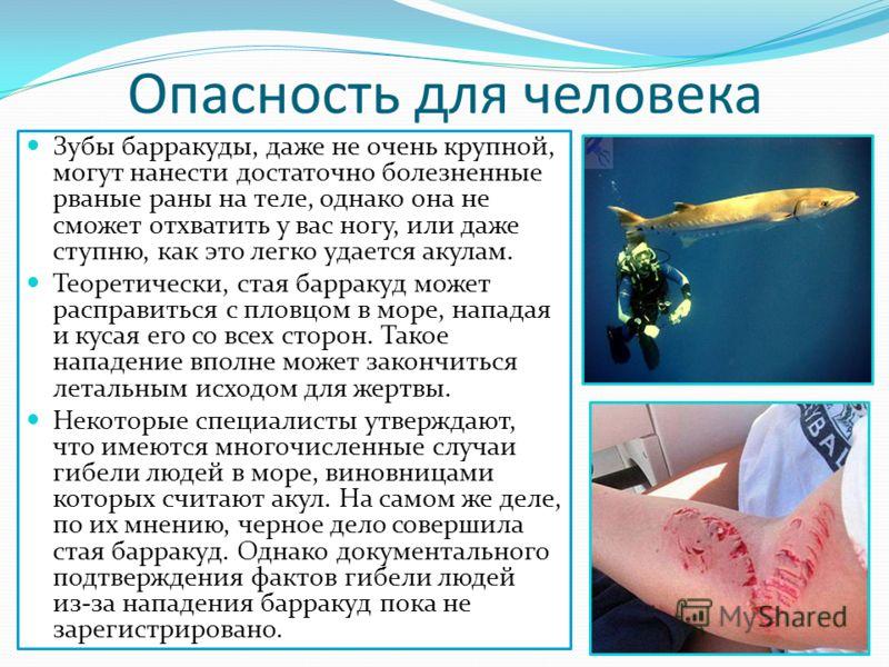Опасность для человека Зубы барракуды, даже не очень крупной, могут нанести достаточно болезненные рваные раны на теле, однако она не сможет отхватить у вас ногу, или даже ступню, как это легко удается акулам. Теоретически, стая барракуд может распра