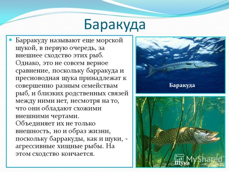 Баракуда Барракуду называют еще морской щукой, в первую очередь, за внешнее сходство этих рыб. Однако, это не совсем верное сравнение, поскольку барракуда и пресноводная щука принадлежат к совершенно разным семействам рыб, и близких родственных связе