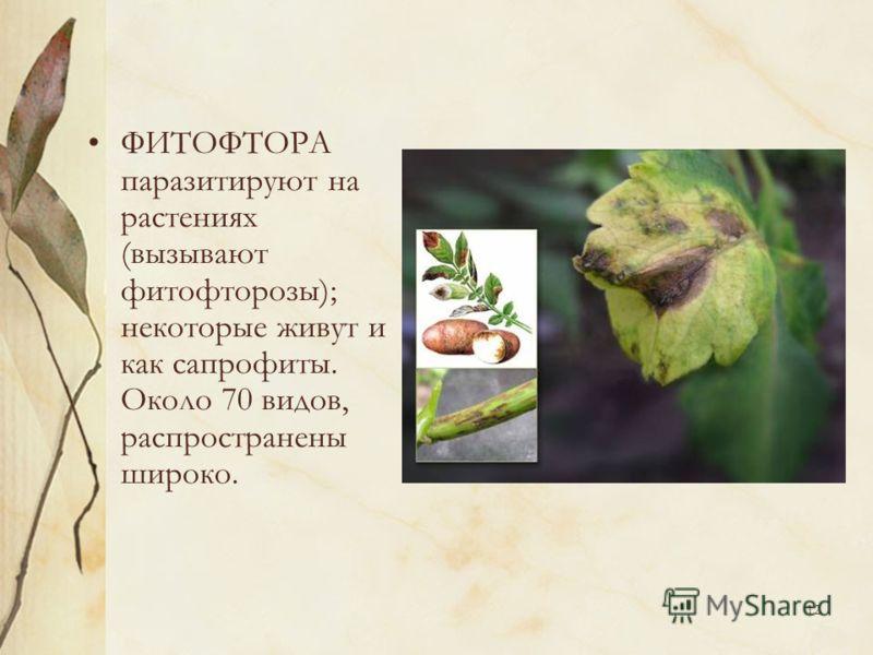 12 ФИТОФТОРА паразитируют на растениях (вызывают фитофторозы); некоторые живут и как сапрофиты. Около 70 видов, распространены широко.