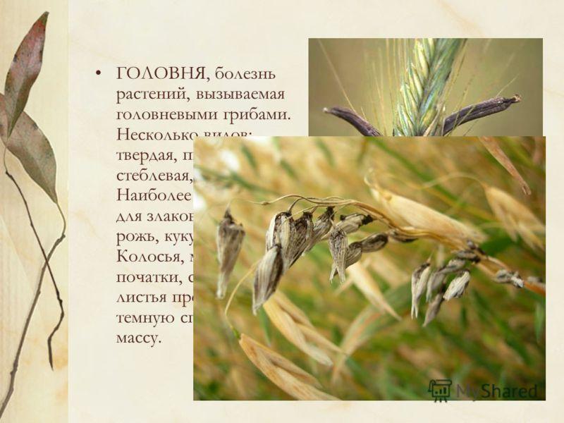 головня ржи: