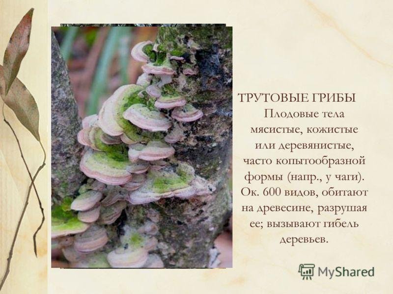 7 ТРУТОВЫЕ ГРИБЫ Плодовые тела мясистые, кожистые или деревянистые, часто копытообразной формы (напр., у чаги). Ок. 600 видов, обитают на древесине, разрушая ее; вызывают гибель деревьев.