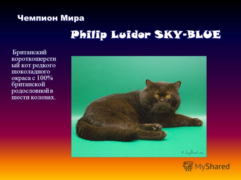 Чемпион Мира Philip Luidor SKY-BLUE Чемпион Мира Philip Luidor SKY-BLUE Британский короткошерстн ый кот редкого шоколадного окраса с 100% британской родословной в шести коленах.