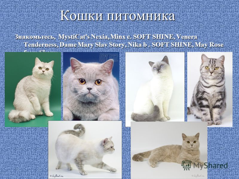 Кошки питомника Знакомьтесь, MystiCat's Nexia, Minx c. SOFT SHINE, Venera Tenderness, Dame Mary Slav Story, Nika b. SOFT SHINE, May Rose from Sham:
