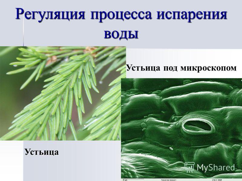 Регуляция процесса испарения воды Устьица Устьица под микроскопом