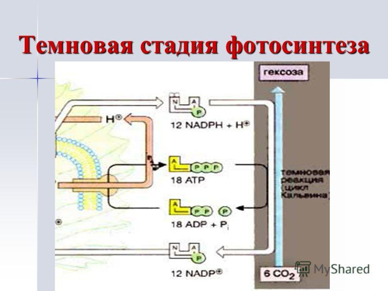 Темновая стадия фотосинтеза