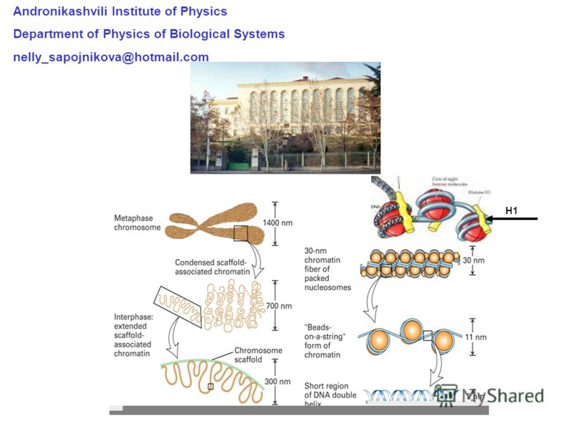 Andronikashvili Institute of Physics Department of Physics of Biological Systems nelly_sapojnikova@hotmail.com H1