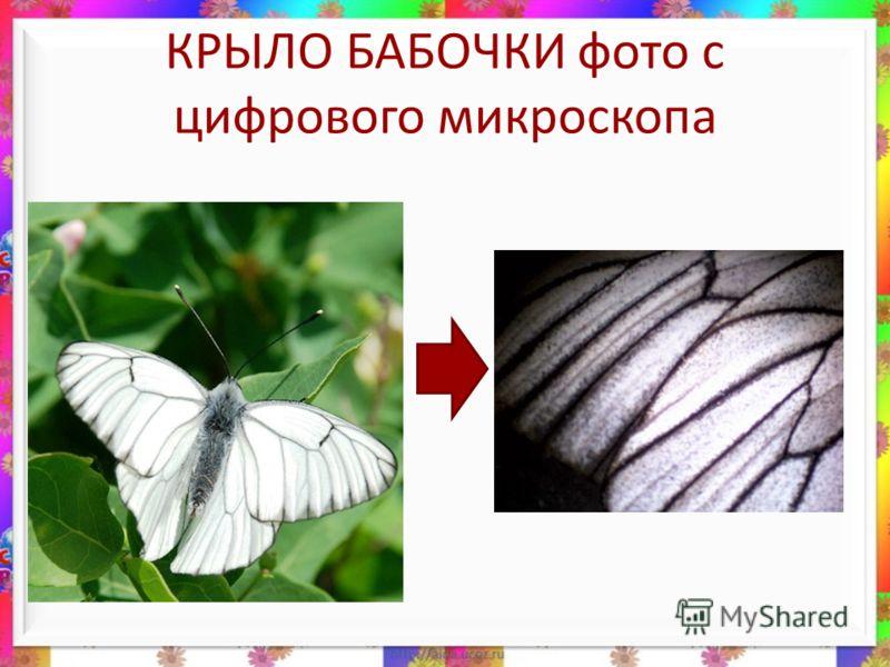 КРЫЛО БАБОЧКИ фото с цифрового микроскопа