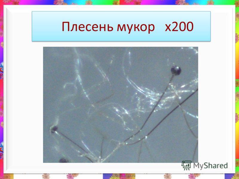 Плесень мукор х200