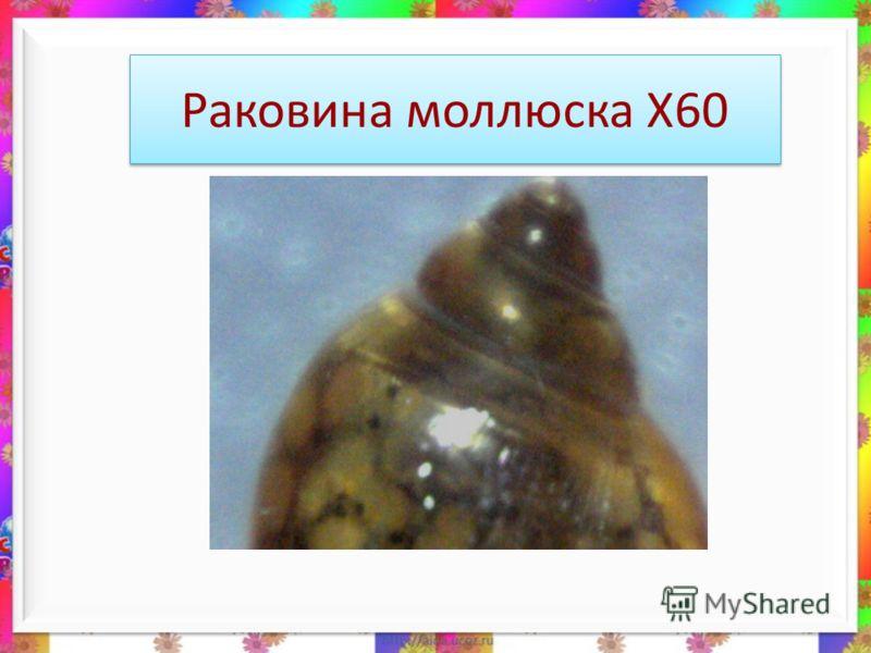 Раковина моллюска Х60