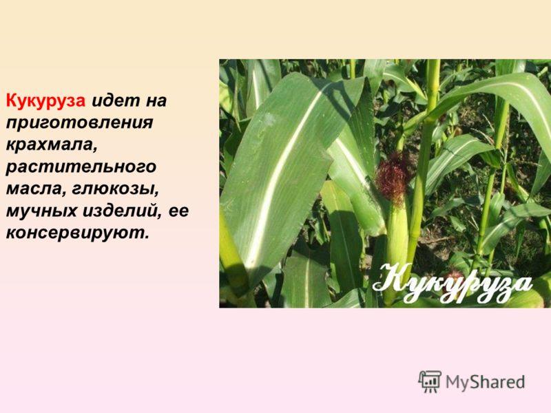 Кукуруза идет на приготовления крахмала, растительного масла, глюкозы, мучных изделий, ее консервируют.