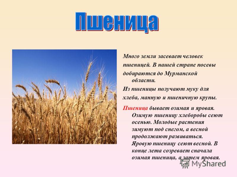 Много земли засевает человек пшеницей. В нашей стране посевы добираются до Мурманской области. Из пшеницы получают муку для хлеба, манную и пшеничную крупы. Пшеница бывает озимая и яровая. Озимую пшеницу хлеборобы сеют осенью. Молодые растения зимуют