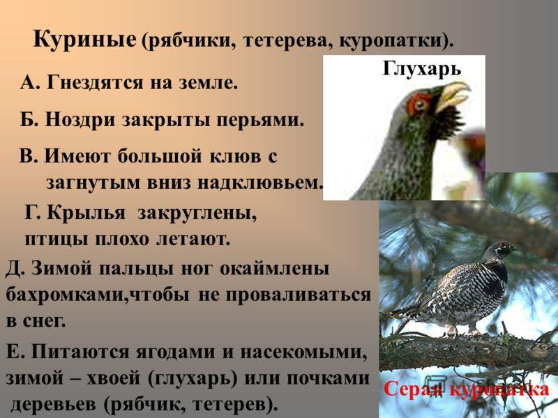 Куриные (рябчики, тетерева, куропатки). А. Гнездятся на земле. Б. Ноздри закрыты перьями. В. Имеют большой клюв с загнутым вниз надклювьем. Г. Крылья закруглены, птицы плохо летают. Глухарь Серая куропатка Д. Зимой пальцы ног окаймлены бахромками,что