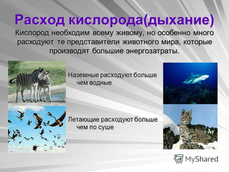 Расход кислорода(дыхание) Кислород необходим всему живому, но особенно много расходуют те представители животного мира, которые производят большие энергозатраты. Наземные расходуют больше чем водные Летающие расходуют больше чем по суше