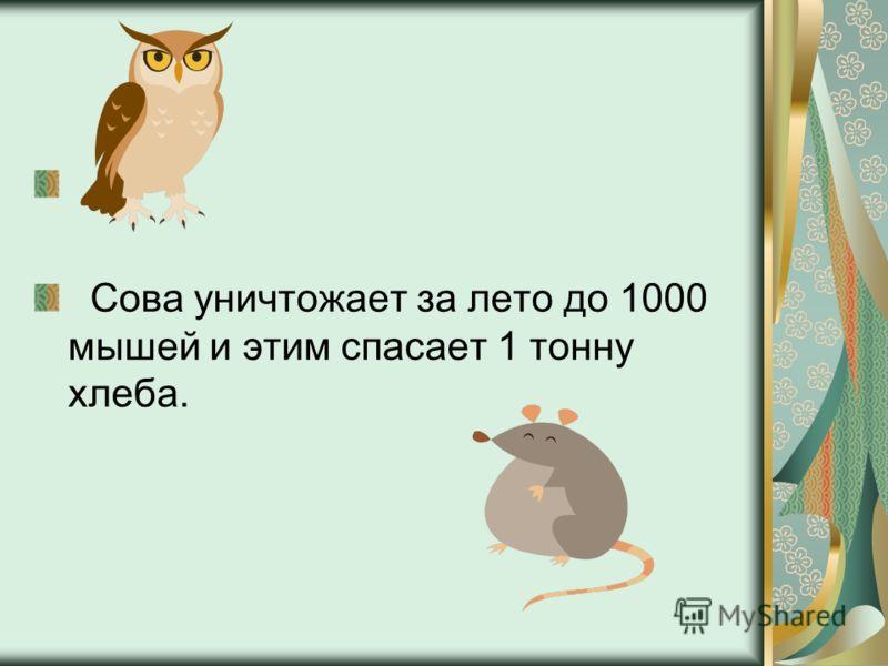 Сова уничтожает за лето до 1000 мышей и этим спасает 1 тонну хлеба.
