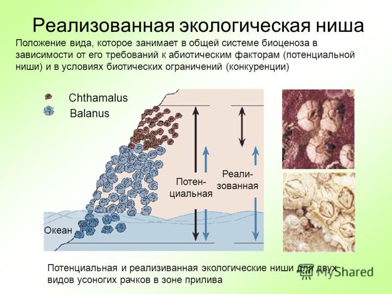 Реализованная экологическая ниша Chthamalus Balanus Океан Потен- циальная Реали- зованная Положение вида, которое занимает в общей системе биоценоза в зависимости от его требований к абиотическим факторам (потенциальной ниши) и в условиях биотических