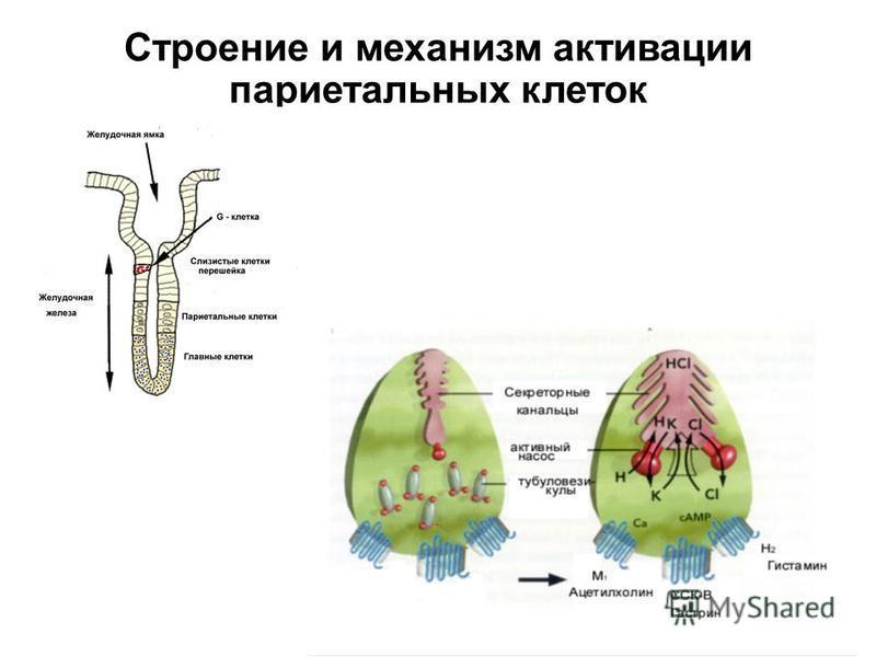 Строение и механизм активации париетальных клеток