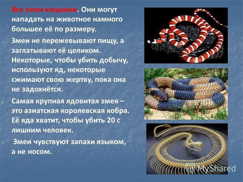 Все змеи хищники. Они могут нападать на животное намного большее её по размеру. Змеи не пережевывают пищу, а заглатывают её целиком. Некоторые, чтобы убить добычу, используют яд, некоторые сжимают свою жертву, пока она не задохнётся. Самая крупная яд