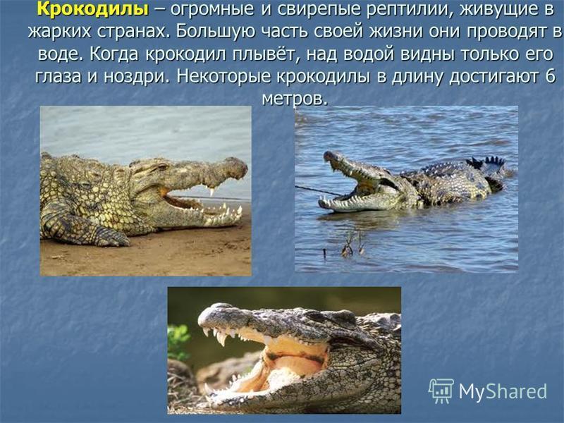 Крокодилы – огромные и свирепые рептилии, живущие в жарких странах. Большую часть своей жизни они проводят в воде. Когда крокодил плывёт, над водой видны только его глаза и ноздри. Некоторые крокодилы в длину достигают 6 метров.