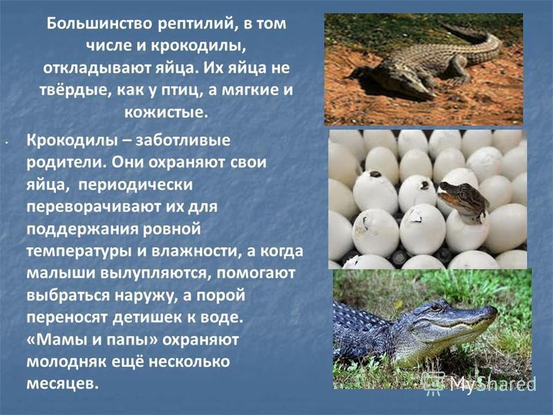 Большинство рептилий, в том числе и крокодилы, откладывают яйца. Их яйца не твёрдые, как у птиц, а мягкие и кожистые. Крокодилы – заботливые родители. Они охраняют свои яйца, периодически переворачивают их для поддержания ровной температуры и влажнос