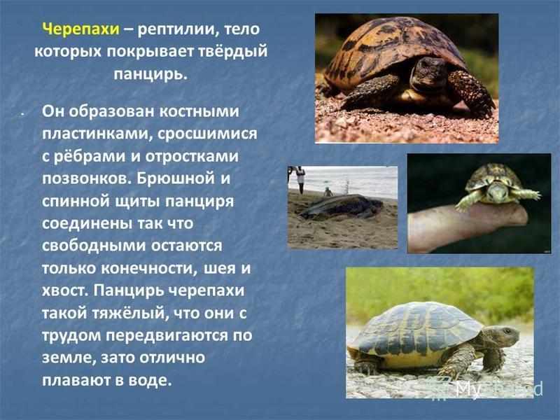 Черепахи – рептилии, тело которых покрывает твёрдый панцирь. Он образован костными пластинками, сросшимися с рёбрами и отростками позвонков. Брюшной и спинной щиты панциря соединены так что свободными остаются только конечности, шея и хвост. Панцирь
