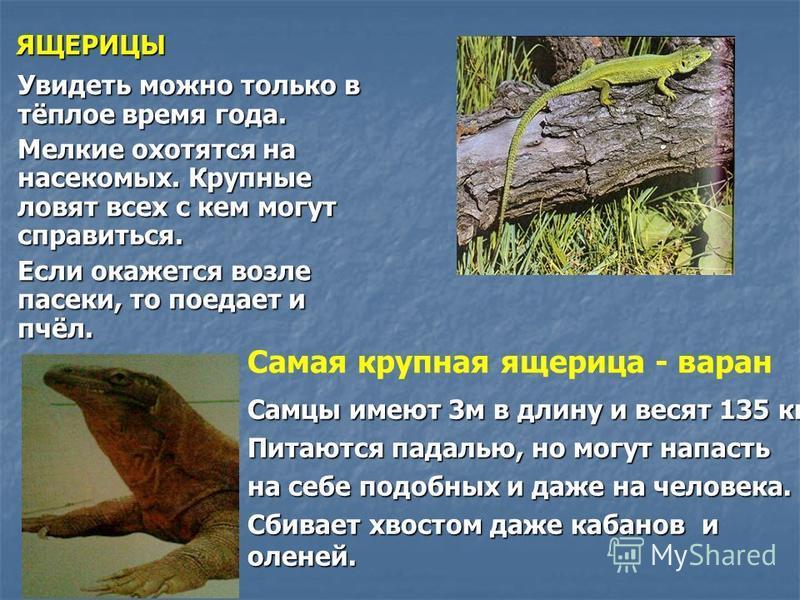 ЯЩЕРИЦЫ Увидеть можно только в тёплое время года. Мелкие охотятся на насекомых. Крупные ловят всех с кем могут справиться. Если окажется возле пасеки, то поедает и пчёл. Самцы имеют 3 м в длину и весят 135 кг. Питаются падалью, но могут напасть на се