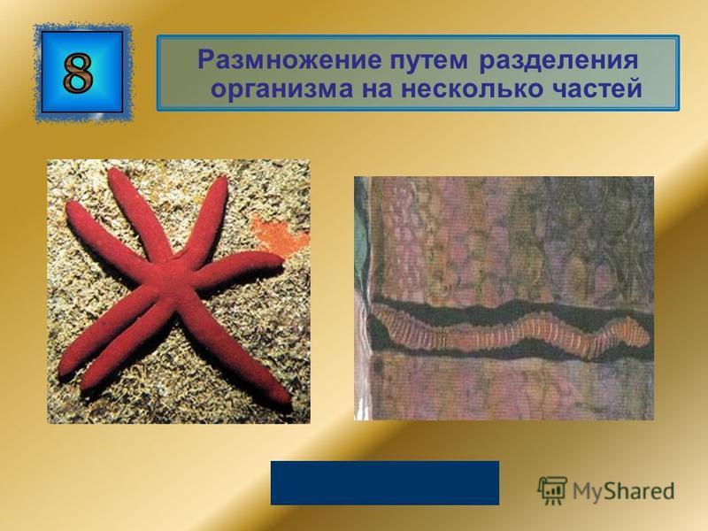 Размножение путем разделения организма на несколько частей Фрагментация