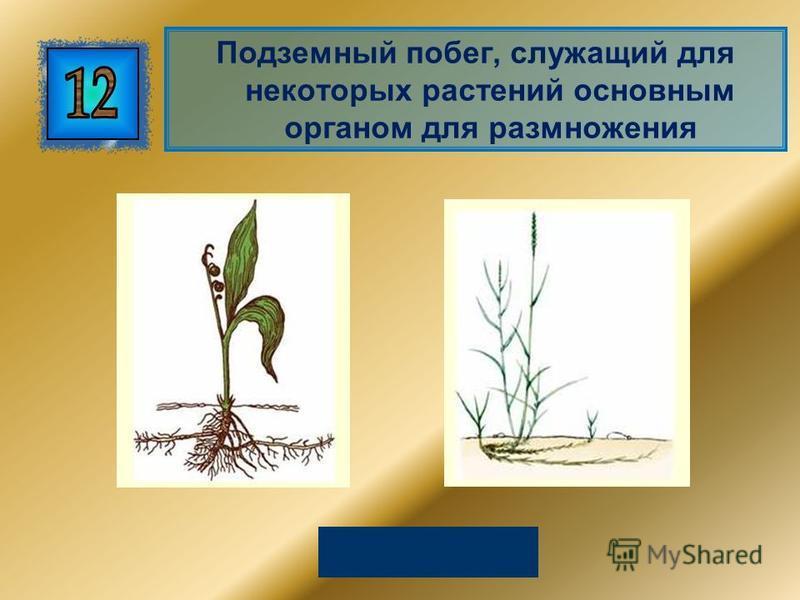 Подземный побег, служащий для некоторых растений основным органом для размножения Корневище