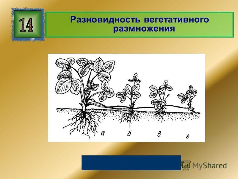 Разновидность вегетативного размножения Размножение усами