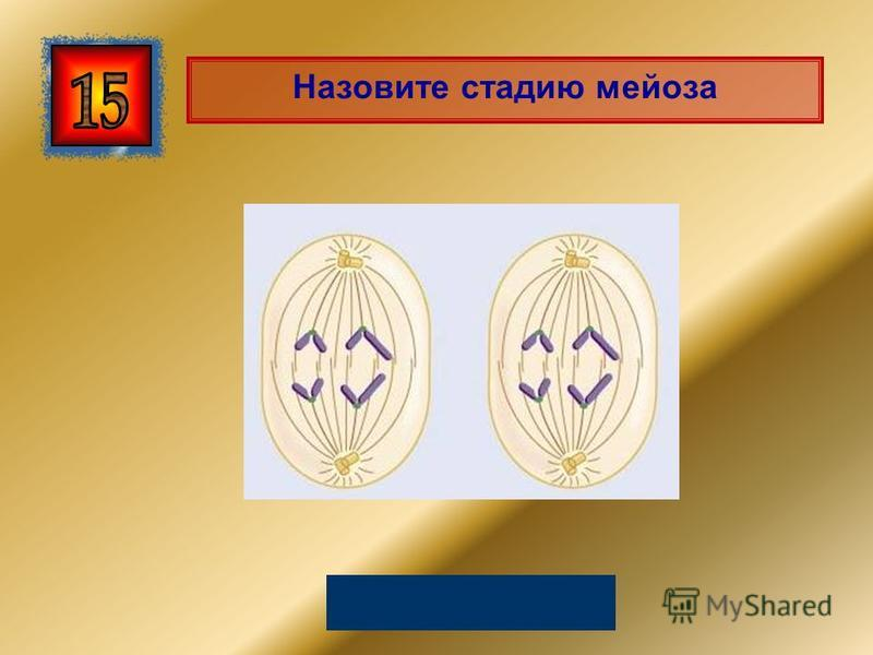 Назовите стадию мейоза Анафаза II