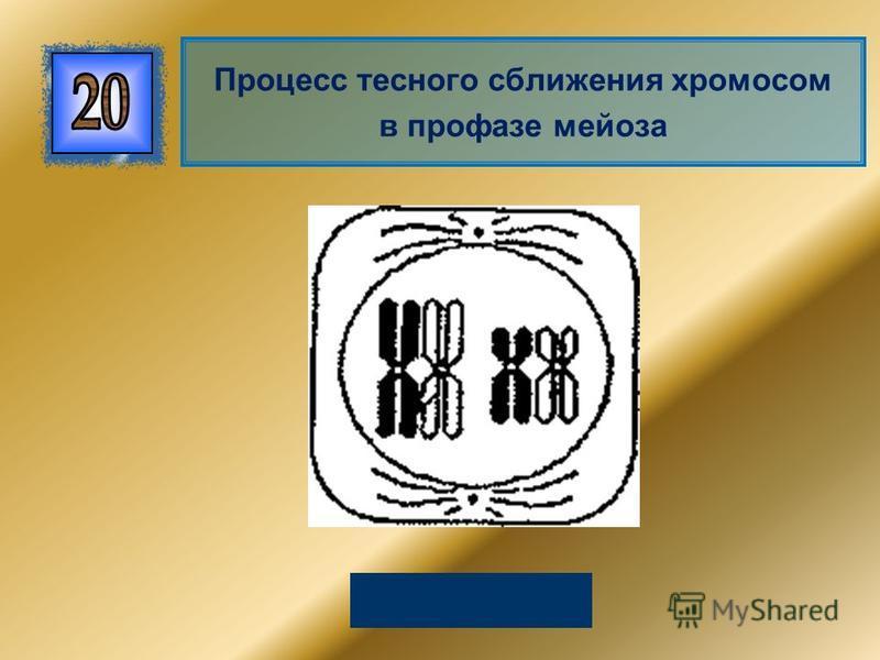 Конъюгация Процесс тесного сближения хромосом в профазе мейоза