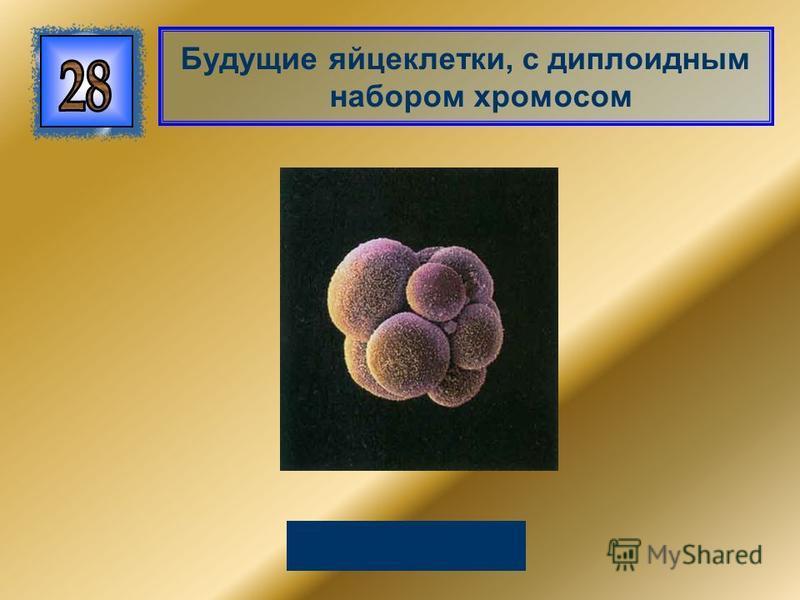 Будущие яйцеклетки, с диплоидным набором хромосом Овоциты
