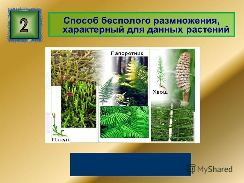 Способ бесполого размножения, характерный для данных растений Спорообразование