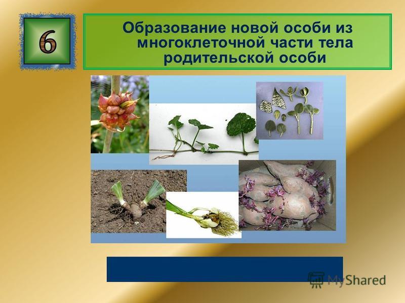 Образование новой особи из многоклеточной части тела родительской особи Вегетативное размножение