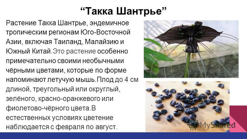 Такка Шантрье Растение Такка Шантрье, эндемичное тропическим регионам Юго-Восточной Азии, включая Таиланд, Малайзию и Южный Китай.Это растение особенно примечательно своими необычными чёрными цветами, которые по форме напоминают летучую мышь.Плод до