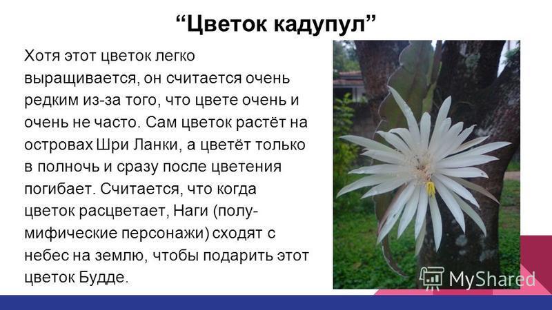 Цветок кадупул Хотя этот цветок легко выращивается, он считается очень редким из-за того, что цвете очень и очень не часто. Сам цветок растёт на островах Шри Ланки, а цветёт только в полночь и сразу после цветения погибает. Считается, что когда цвето