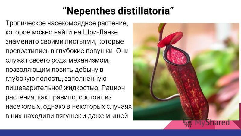 Nepenthes distillatoria Тропическое насекомоядное растение, которое можно найти на Шри-Ланке, знаменито своими листьями, которые превратились в глубокие ловушки. Они служат своего рода механизмом, позволяющим ловить добычу в глубокую полость, заполне